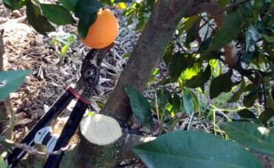 Poda de naranjo navelino en la algaba (sevilla)