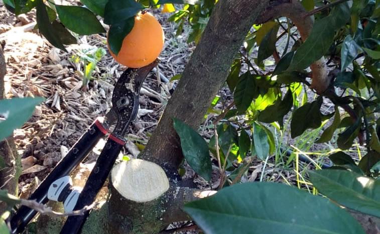 Poda de naranjjo navelino en La Algaba Sevilla