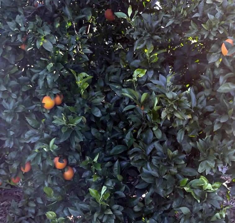 Poda Naranjo Navelino