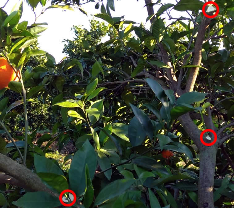 Poda de ramas altas e internas de naranjo navelino