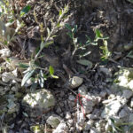 Recuperación olivar figura 5
