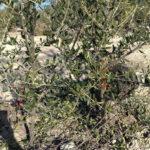Recuperación olivar figura 7
