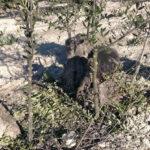 Recuperación olivar figura 8