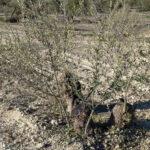 Recuperación olivar Figura 9