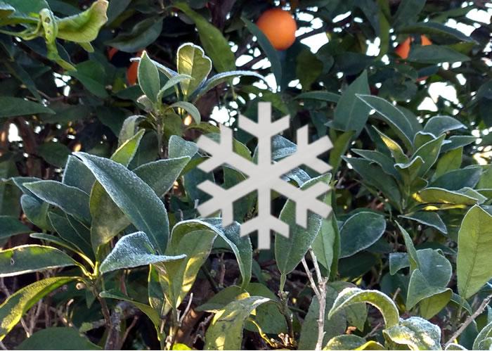 Temporal invierno y los cítricos