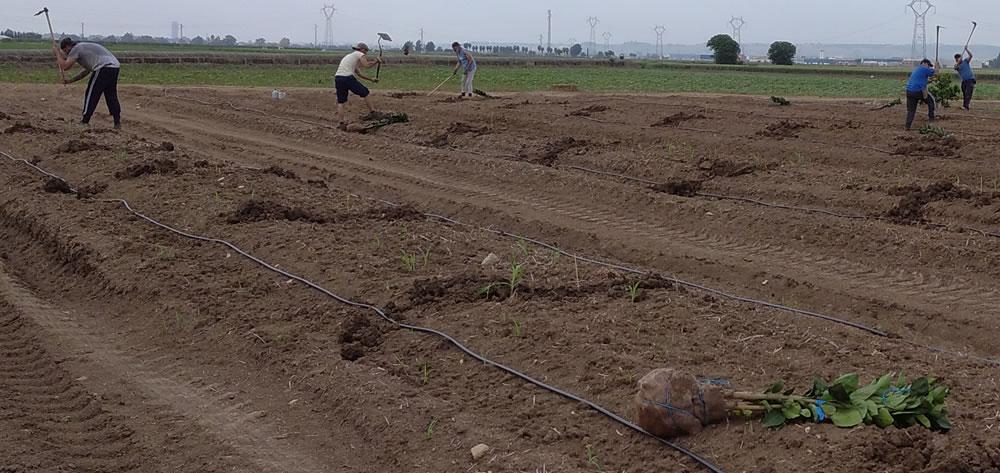 Interpoda siembra de cítricos