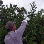Posicionamiento de ramas en granado